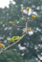 Bulbul in Branch by meihua