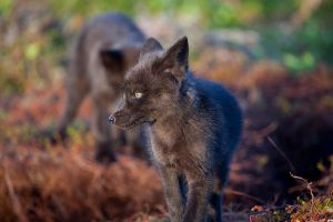 Baby Foxes - Moments Ago 8 by Witch-Dr-Tim