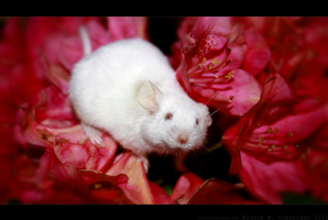Rodent Among the Roses by i-Moosker