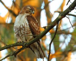 After Dinner Hawk by natureguy