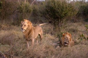 TRACKING AFRICAN LIONS 5 by lenslady