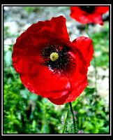 Poppies 4 by uk-antalya