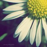 Daisy. by MauiMelle