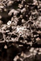 White Blossomes by RobertRobledo
