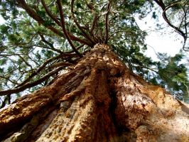 Red Wood Giant by furiousbullet