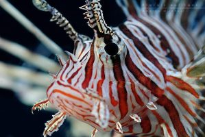 Pterois volitans by Mantide