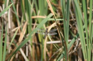 Brown Dragonfly by Indiliel