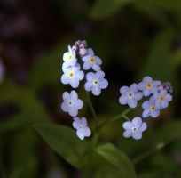 Forget Me Not by salman-khan