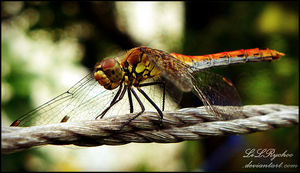 circus dragonfly . by LiLRychoo