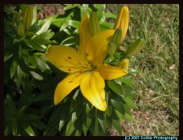 Yellow Lily by silverwolfchild17