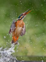 Lift off- Common Kingfisher by Jamie-MacArthur