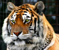 Tiger's eyes by TlCphotography730