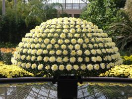 1000 Bloom Chrysanthemum by Rothar