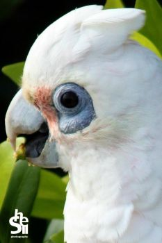 Cute Corella by Shelley-May