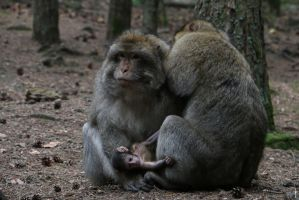 Barbary Macaque Family by bribesdemoi