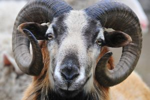 blackbelly ram by blackmail3333