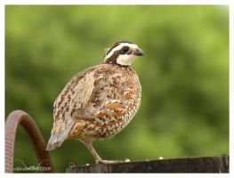 Mr Quail by SuicideBySafetyPin