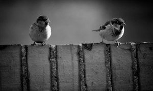 Two little sparrows by ladyang