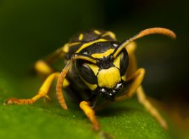 Wasp by HalfBloodPrince71