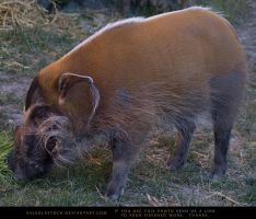 Red River Hog by SalsolaStock