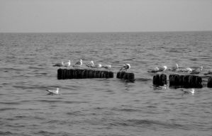 Seagulls by Black-Crow000