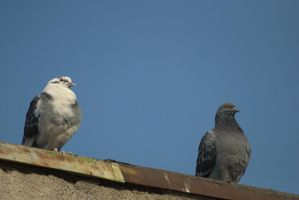 pigeons 9 by deepest-stock