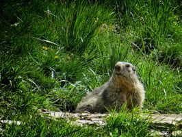 marmot by rhipster