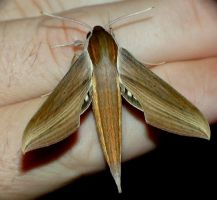 Xylophanes tersa, dorsal view by duggiehoo
