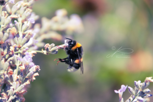 Little Purple Bumblebee by byNici