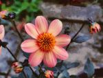 Dahlia - First Love by Paul-Gulliver