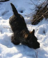 The Scottish Terrier Nisse by Phantasydragon