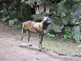 African Wild Dog by JollyStock