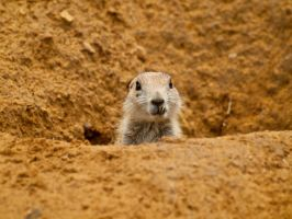 Black-tailed prairie dog 05 - Jul 12 by mszafran