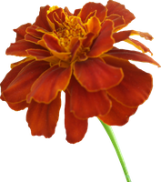 Marigold PNG 01 by Thy-Darkest-Hour