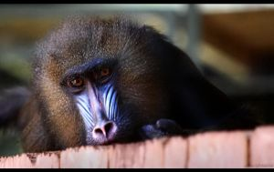 Blue Baboon by penragonwebsite