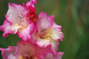 gladiolus 1 by meihua-stock