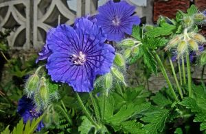 Hairy Geranium by EKAndy