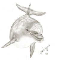 Another Dolphin Drawing by carriephlyons