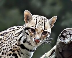 Ocelot Closeup by andras120