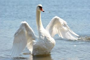 Swan lake by starling-thorn