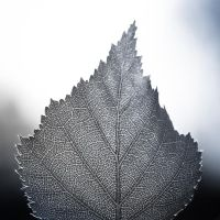 leaf veins by StopScreamGraphy