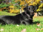 Black Lab in Autumn by Geak-of-Nature