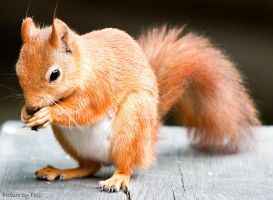 Red Squirrel by PictureByPali