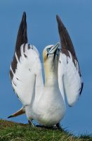 Ready for action - Northern Gannet by Jamie-MacArthur