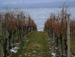 vineyard again by Pethack