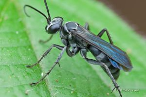 Spider Wasp by melvynyeo