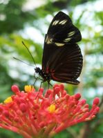 black butterfly by marob0501