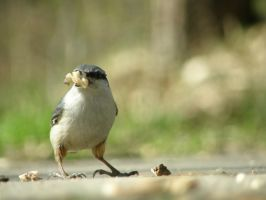 Eurasian Nuthatch by solopv