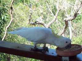 STOCK - Cockatoo 014 by Chaotic-Oasis-Stock