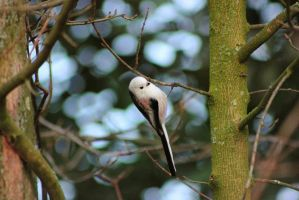 Long-tailed tit by JetteReitsma